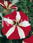 Petunia nana compatta stellata 569809