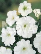 Petunia nana compatta bianca 569831