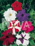 Petunia nana compatta mix 569835