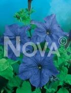 Petunia nana compatta blu 569837