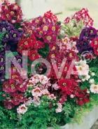 Schizanthus mix 582103