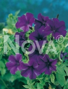 Petunia nana compatta viola 582711