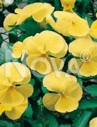 Viola cornuta gialla 595649