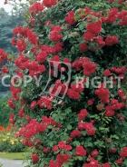 Rosai rampicanti RS048