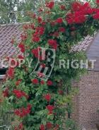 Rosai rampicanti RS050