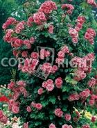 Rosai rampicanti RS052