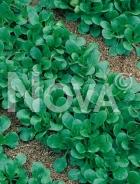 Valeriana coquille de louviers 710613