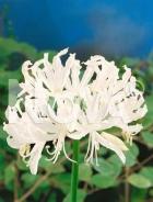 Nerine bianca 754503