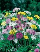 Allium miscuglio 750086