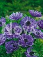 Anemone doppia blu 750215