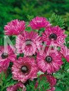 Anemone doppia rosa 750216