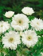 Anemone doppia bianca 750218
