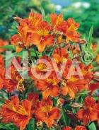 Alstroemeria arancio 750451