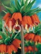 Fritillaria imperialis arancio 750705