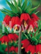 Fritillaria imperialis rossa 750707