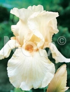 Iris germanica bianco 751010