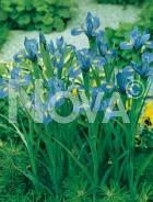 Iris hollandica blu-giallo 751020