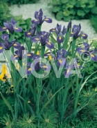 Iris hollandica blu-giallo 751022