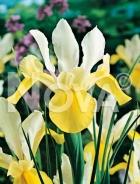Iris hollandica giallo-bianco 751032