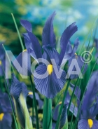 Iris hollandica blu-giallo 751042