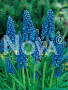 Muscari blu 754015