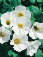 Oxalis bianco 755021