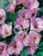 Oxalis rosa 755022