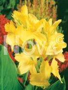 Canna indica gialla 763019