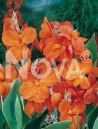 Canna indica arancio 763078