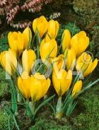 Crocus giallo 765301