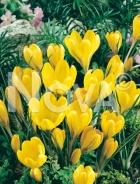 Crocus giallo 765308