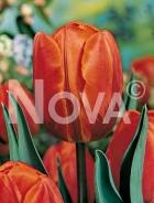 Tulipano triumph arancio 766413