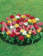 Tulipano doppio miscuglio 767503