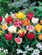 Tulipano doppio miscuglio 767506