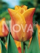 Tulipano triumph arancio 778416