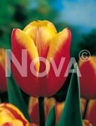 Tulipano triumph giallo-rosso 778457