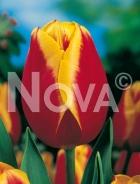 Tulipano triumph giallo-rosso 778458