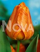 Tulipano darwin hybrid arancio 780403