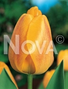 Tulipano darwin hybrid giallo 780404