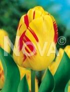 Tulipano darwin hybrid giallo-rosso 780415
