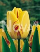 Tulipano darwin hybrid giallo-rosso 780437