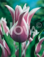 Tulipano fior di giglio viola-bianco 781405