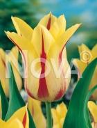 Tulipano fior di giglio giallo-rosso 781409