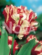Tulipano pappagallo bianco-rosso 782402