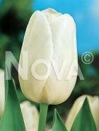 Tulipano triumph bianco 783101