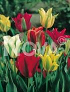 Tulipano viridiflora miscuglio 783502