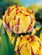 Tulipano doppio giallo-rosso 784405