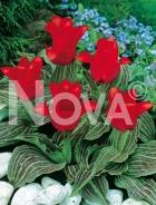 Tulipano greigii rosso 785007