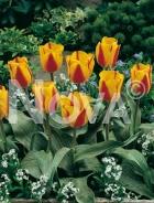 Tulipano greigii rosso-giallo 785073