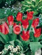 Tulipano greigii rosso 785090